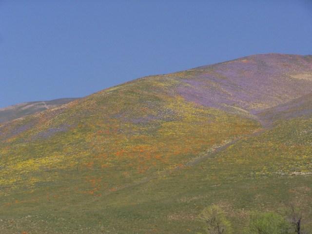 Bakersfield Wildflowers Credit Chris Huot (10)