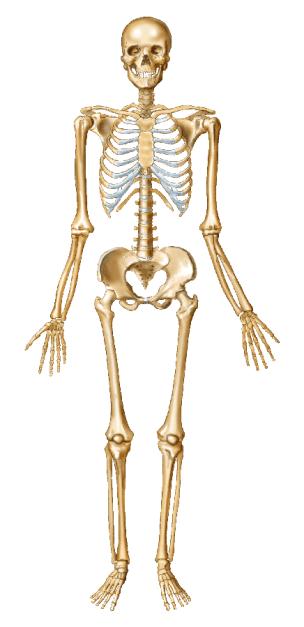 Skeleton - Anterior 2