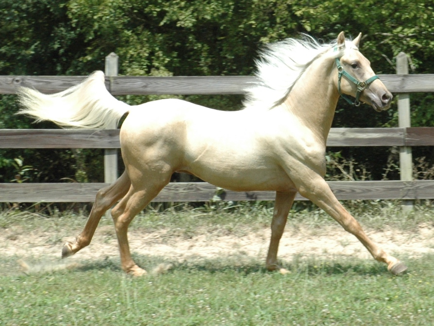 2010 Palomino  Nashboro Morgan Horse Ranch