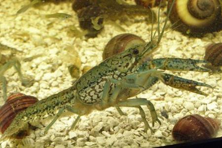 мраморный рак на грунте в аквариуме