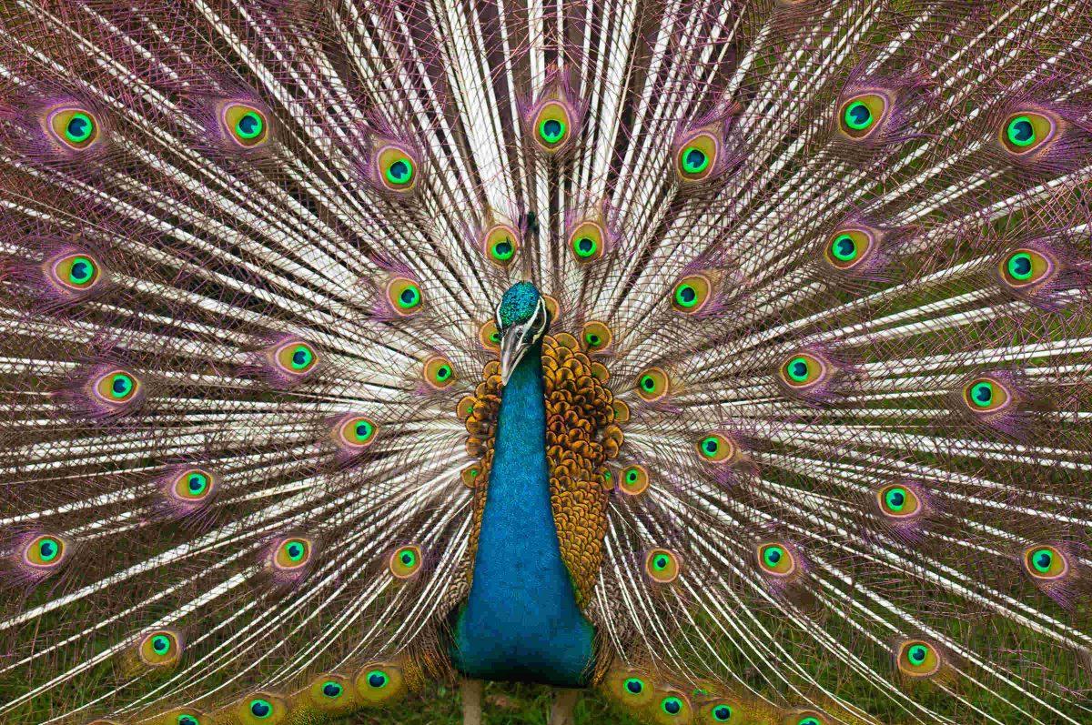 peacock-symmetry