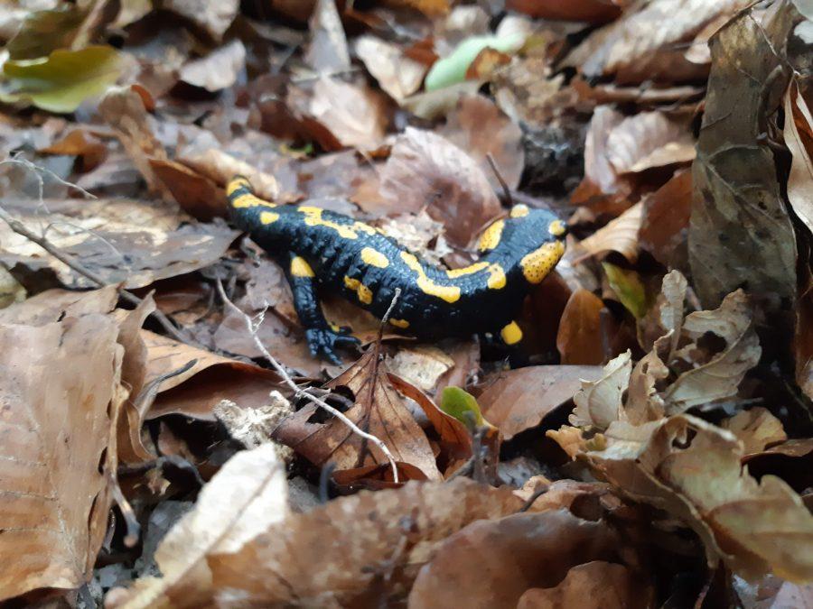 salamander-spotted