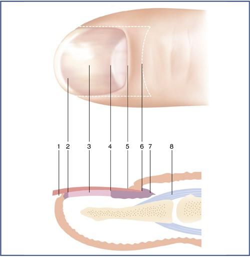 Mythe ou Réalité. Les ongles respirent-ils ?