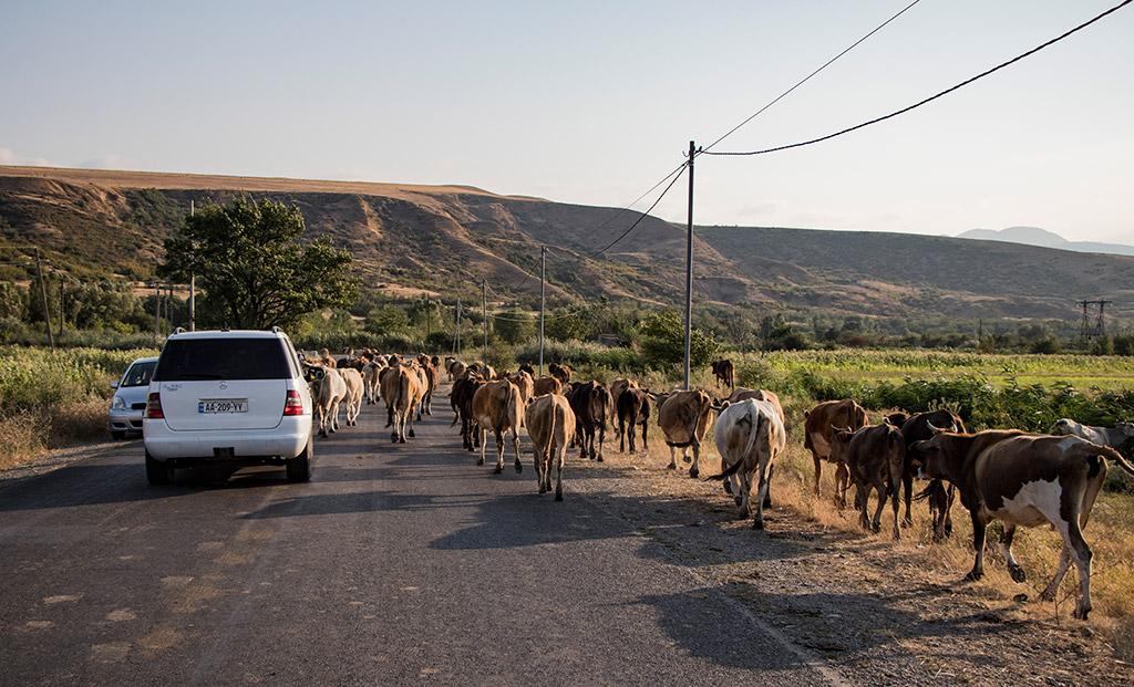 viaggio in georgia mucche