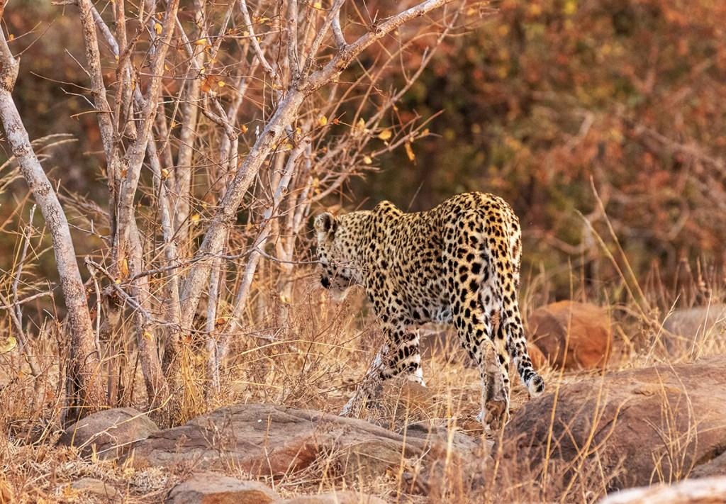 Leopardo-Parco-Kruger