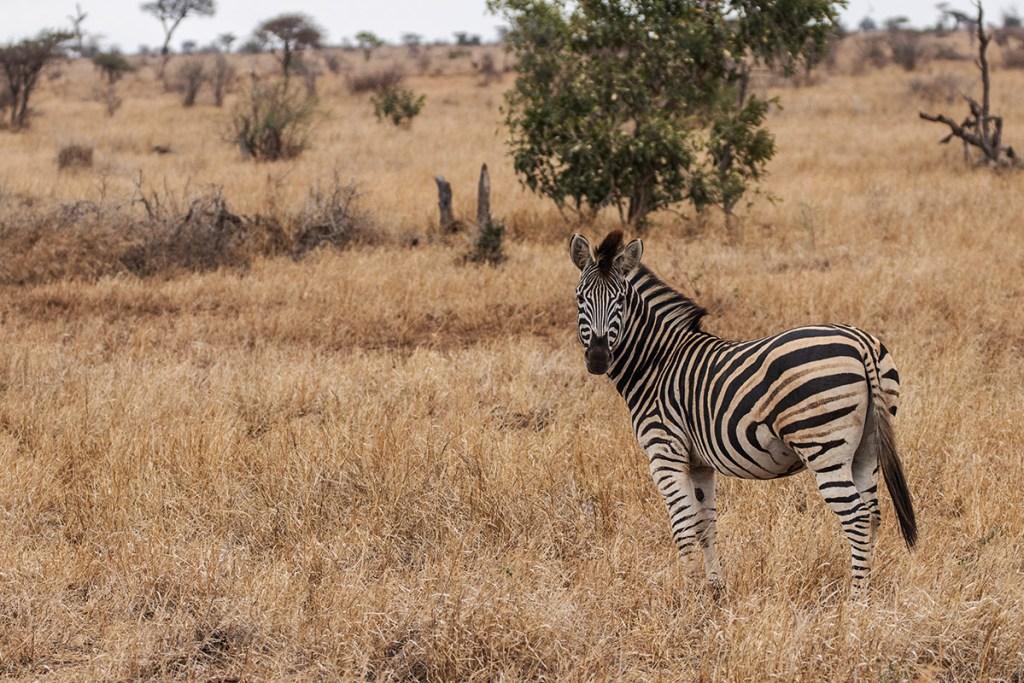 Zebra-Parco-Kruger