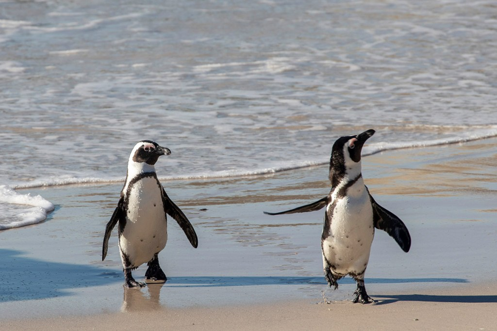 south african penguin - tour sudafrica