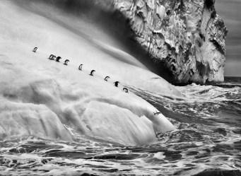 Pingüinos barbijos (Pygoscelis antarctica) en un iceberg situado entre Zavodovski y Visokoi. Islas Sandwich del Sur. 2009