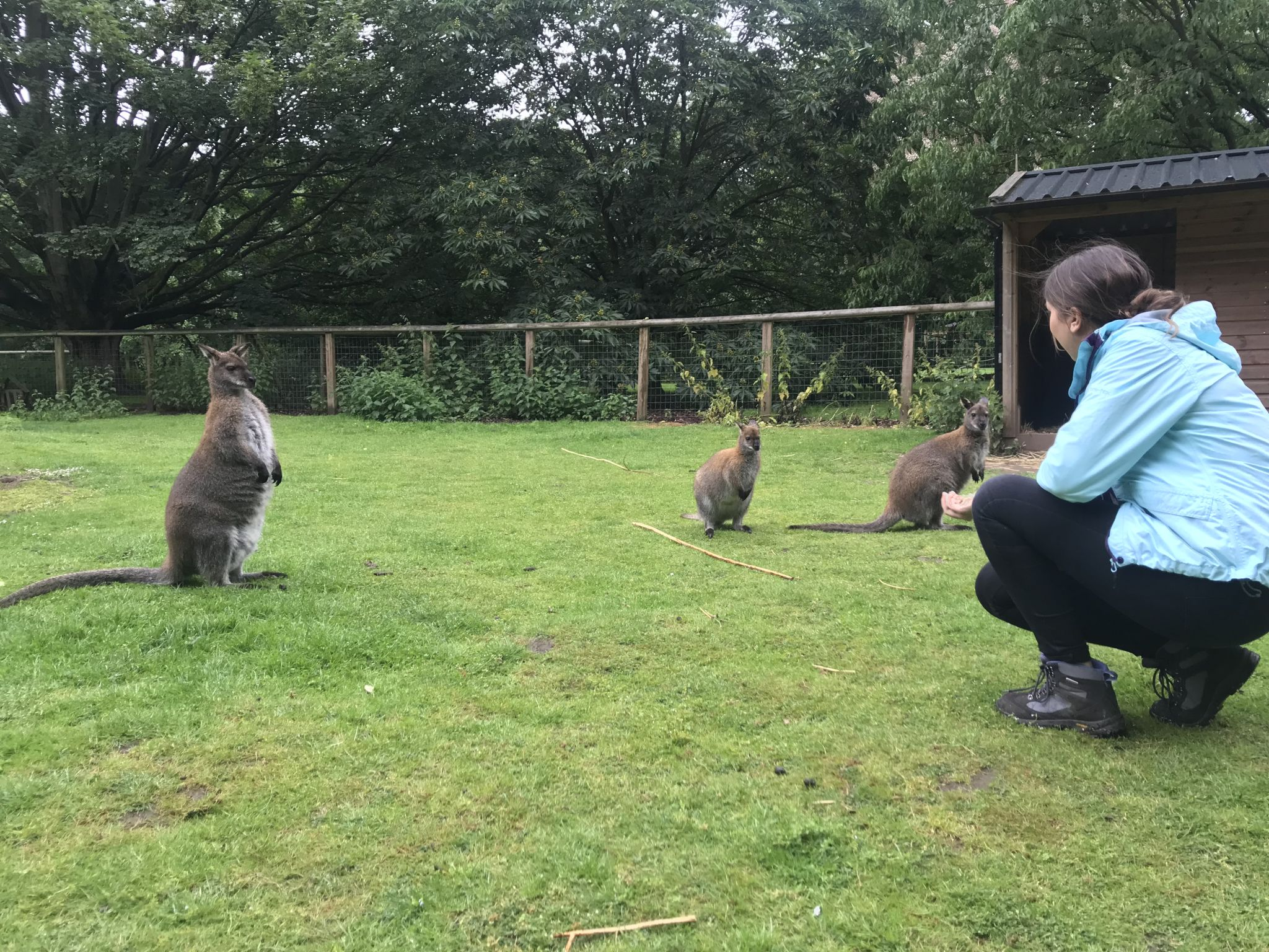 famous wallaby at askham bryan wildlife park