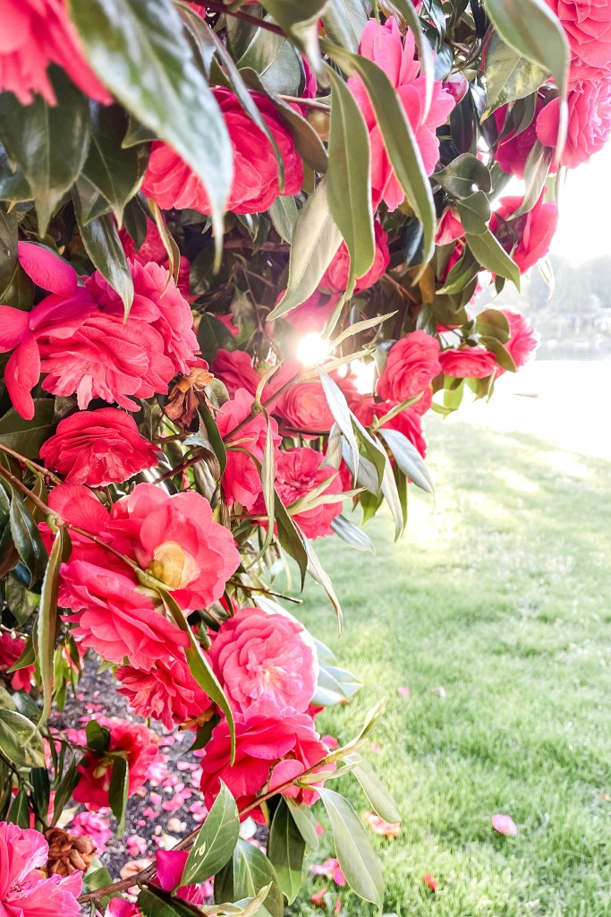 Camellias and sunshine by Blue Rose Photography
