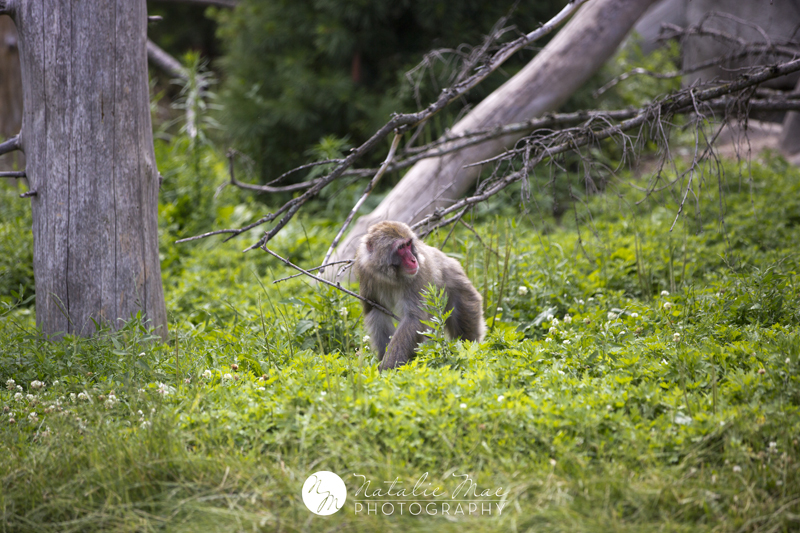 Japanese macaque foraging in his habitat.