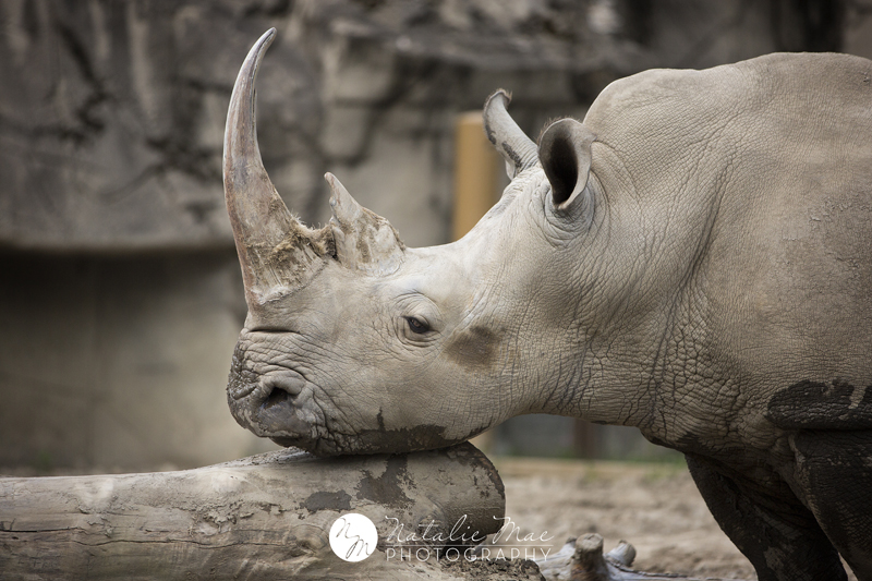 White rhino scratches his chin at the Detroit Zoo.