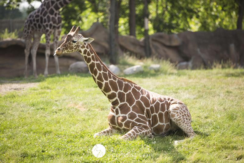 Giraffe basking in the sunlight.