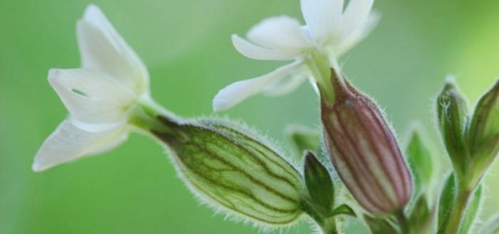 Bachblüten-Therapie nach Dr. Edward Bach