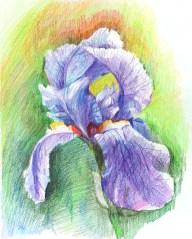 Iris. Colored pencil , paper.