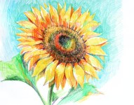 Sunflower. Colored pencil , paper.