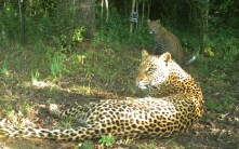 leopard-and-cub