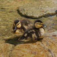 Disney Ducklings