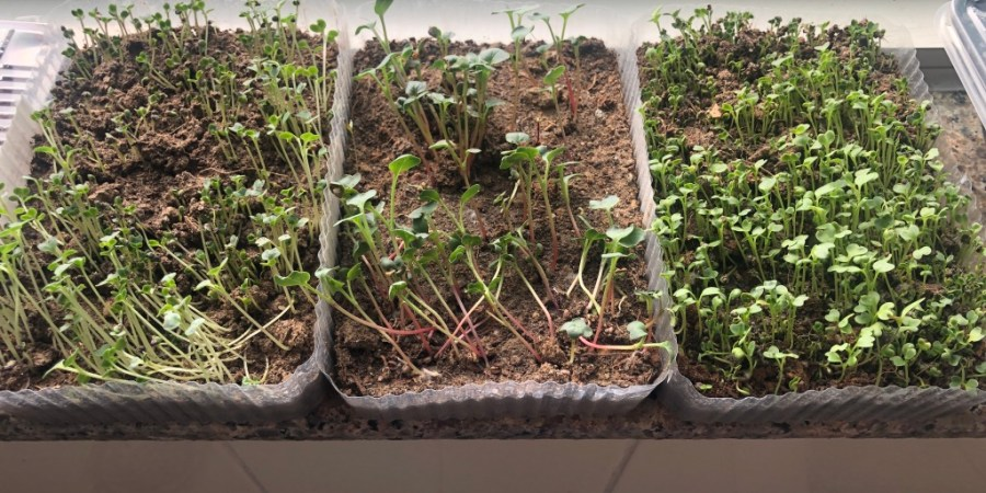wordless-wednesday-natasha-musing-growing-microgreens-microgreens