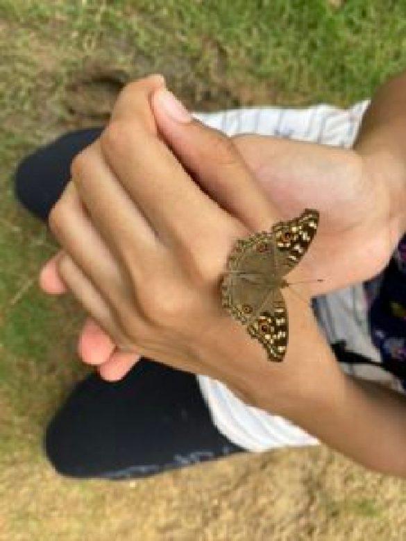 Lemon pansy butterfly