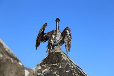 The pelican of Havana, Cuba