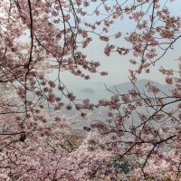 Cherry time in South Korea