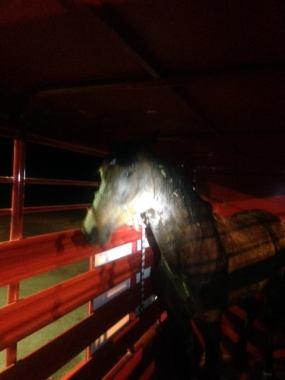 Horse-NPSO