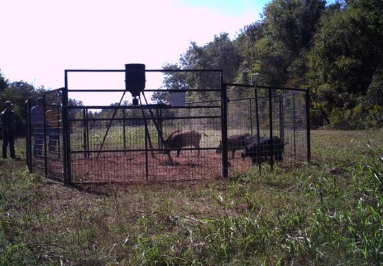 feral-hog-gunning-programpict0848