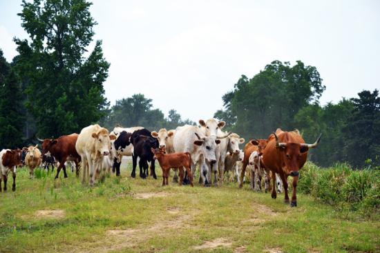 Junior Johnson-Cattle