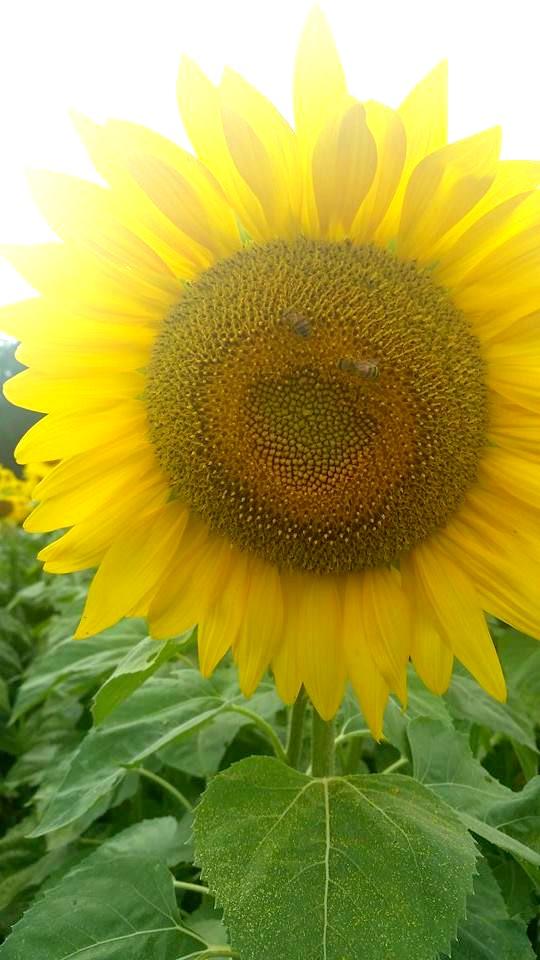 Wabash Valley Sunflower Maze
