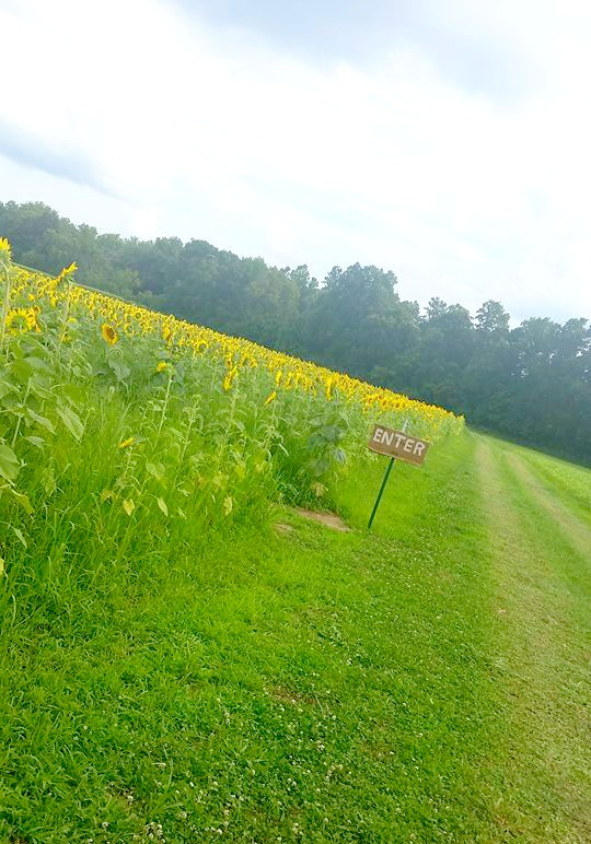 Sunflower Maze near Terre Haute, Indiana