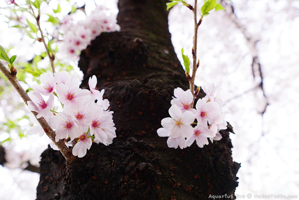 Jinhae-Cherry-Blossom-2018-08.jpg