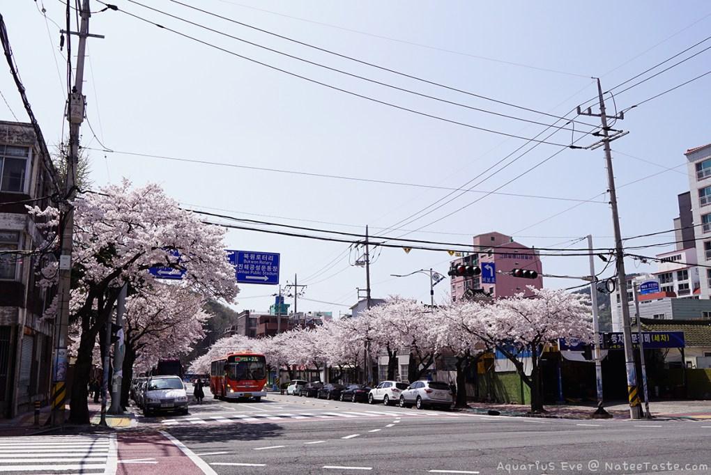 Jinhae-Cherry-Blossom-2018-09