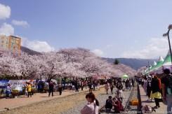 Jinhae-Cherry-Blossom-2018-Gyeonghwa-Station-04