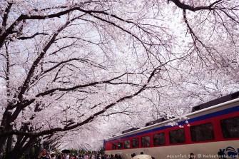 Jinhae-Cherry-Blossom-2018-Gyeonghwa-Station-05