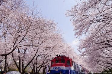 Jinhae-Cherry-Blossom-2018-Gyeonghwa-Station-06