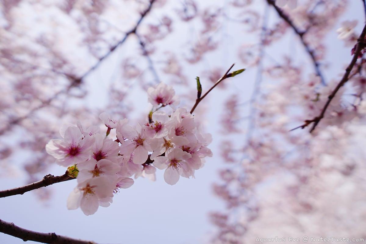 พยากรณ์ดอกพ็อดกด : 벚꽃 (ดอกซากุระเกาหลี) ประจำปี 2562 : 2019 Korea Cherry Blossom Forecast