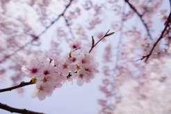 Jinhae-Cherry-Blossom-2018-Gyeonghwa-Station-07
