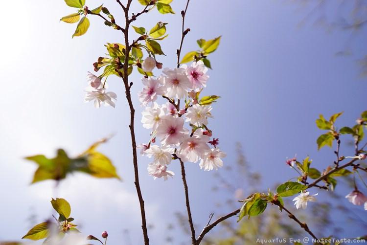 Jinhae-Cherry-Blossom-2018-Jinhae-NFRDI-Environment-Eco-Park-01