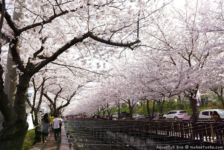Jinhae-Cherry-Blossom-2018-Yeojwacheon-Stream-02
