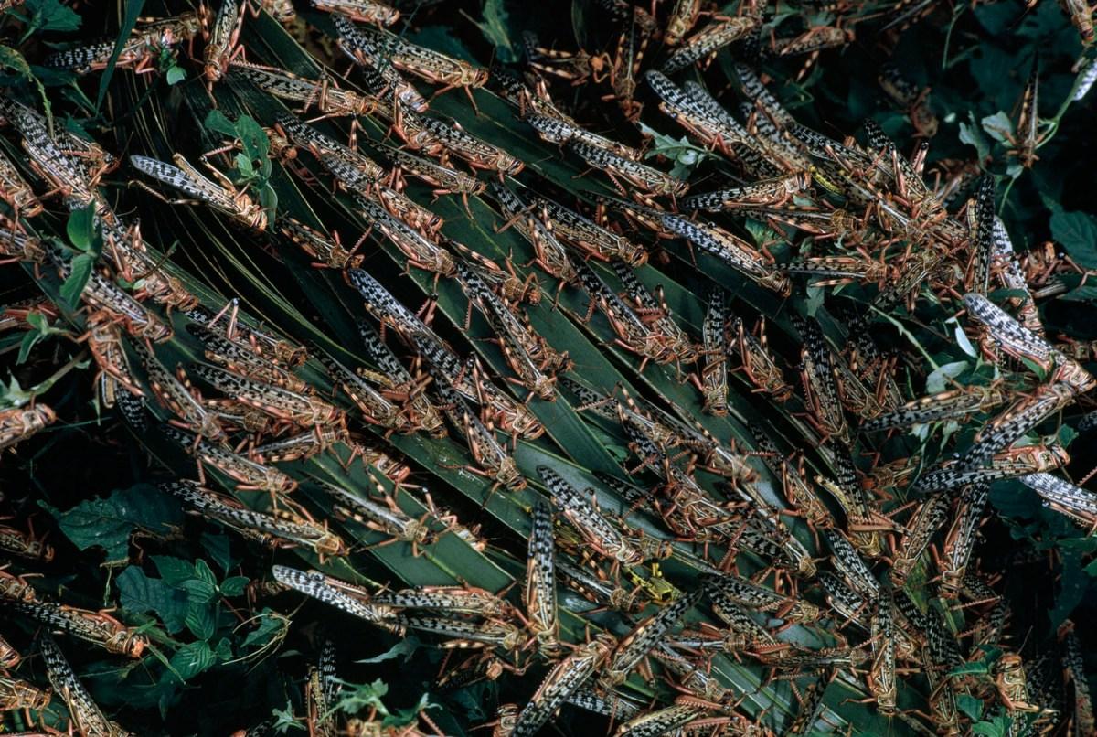 Locust Swarm - Year of Clean Water