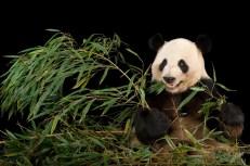 Captive breeding of pandas at zoos around the world has been phenomenally successful. This panda lives at Zoo Atlanta, Georgia. Photograph by Joel Sartore, Photo Ark, National Geographic