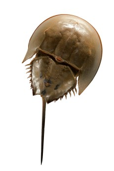 Horseshoe crabs like this one are real blue bloods. After blood is extracted, the animals are returned to the water. Photographs by Mark Thiessen, National Geographic