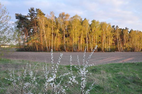 Gegenüber vom Grundstück blüht der Schwarzdorn.