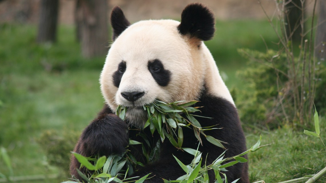 Les Pandas de Beauval, avril 2013