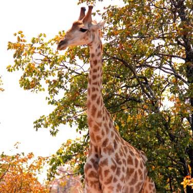 La Girafe..dans le top 5