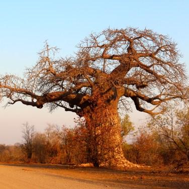 Un Baobab