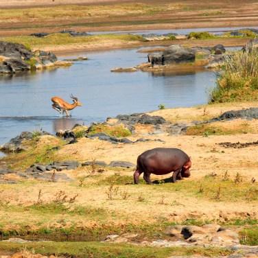 On s'entend entre les hippos et les antilopes