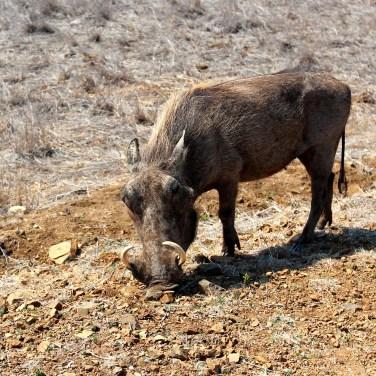 Un Phacochère…Pumba du Roi Lion