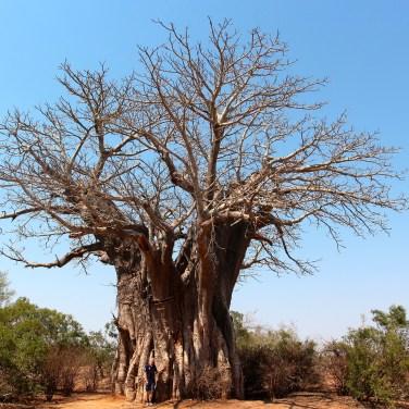 Je suis tout petit à coté du Baobab